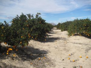 The orange groves are heavy with fruit this year - which is good news for your health