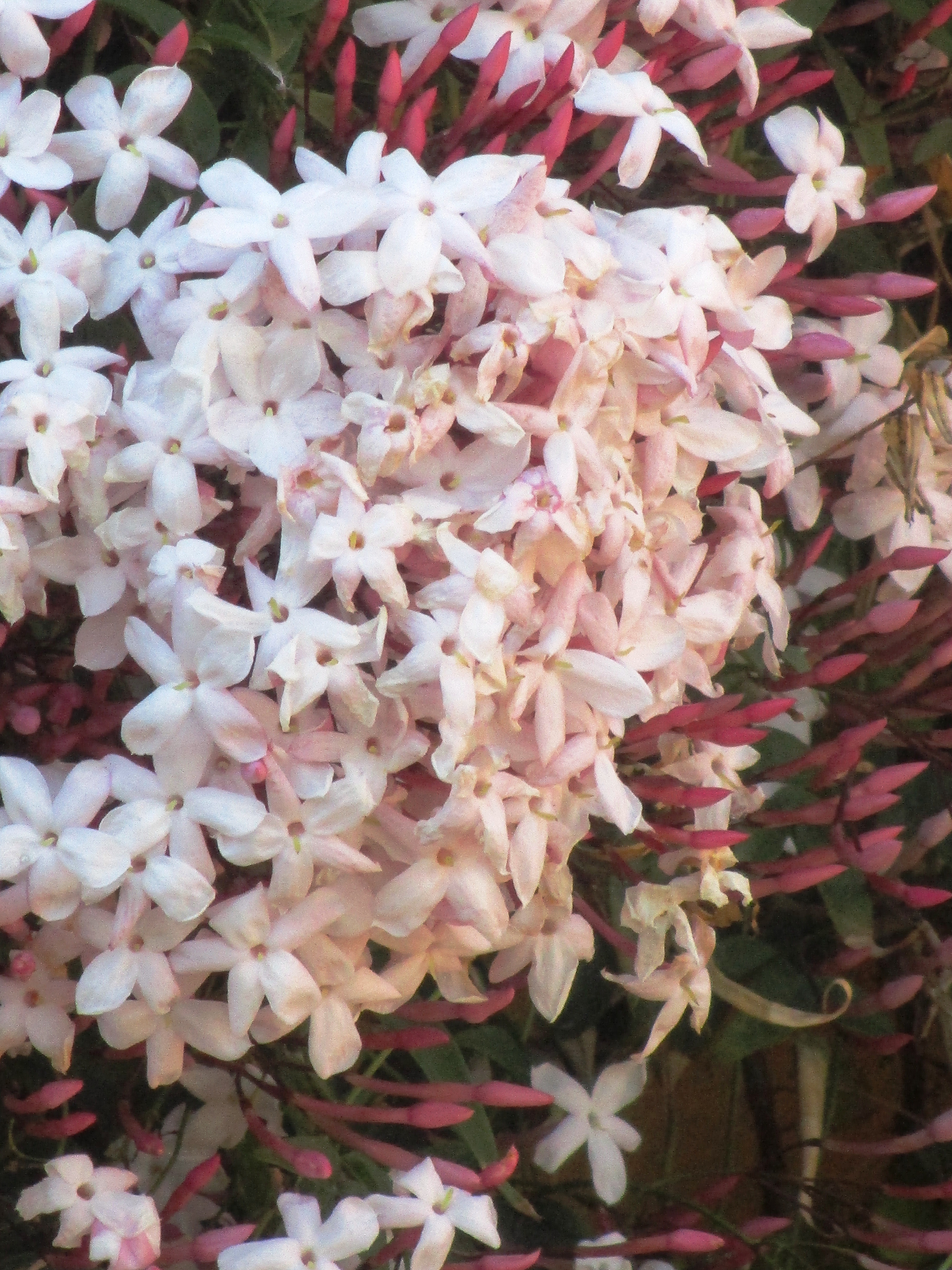 blossom 017