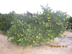 Oranges ripening rapidly on the trees in the groves around Algorfa